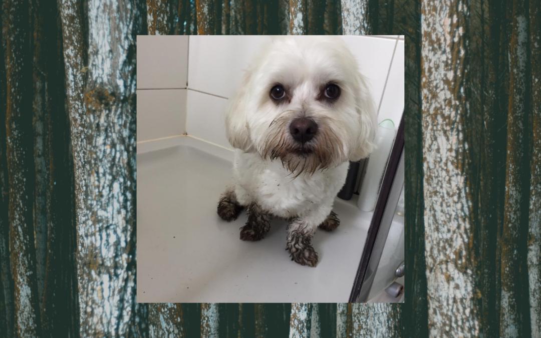 Hond Miel terug fit met acupunctuur
