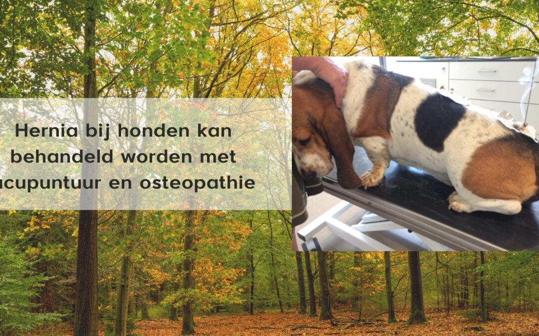 Herstel van een hernia bij een hond (Roeselare)