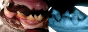 kat RX - röngtenfoto van het gebit
