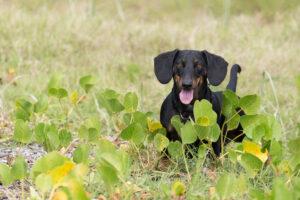 Teckel - honden